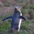 Study_Nelson_Penguins (2)