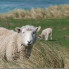 Study Nelson Sheep