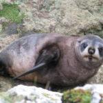 Auszeit Neuseeland Robbe