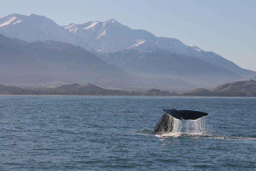 Auszeit Neuseeland Whale Watching